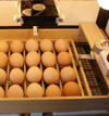 Breeding Chicks With Incubator Maker